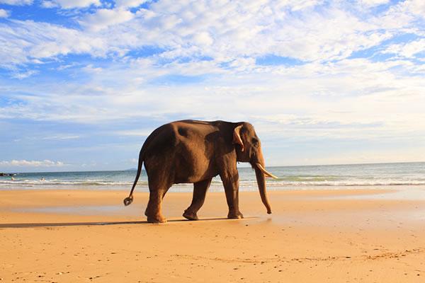 elephant on the beach koh lanta thailand