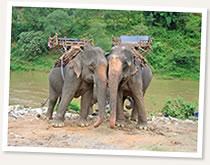 elephants river bank