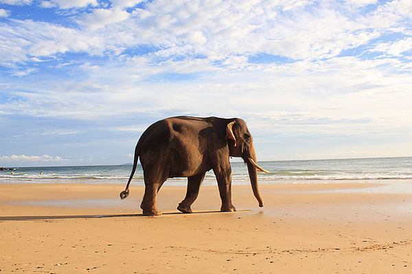 Elephant on Klong Jark beach