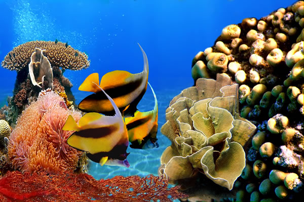 Butterflyfish and coral