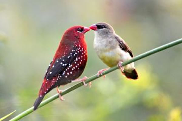 Red avadavats