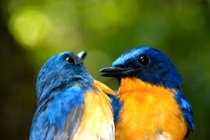 hill blue flycatchers khao yai national park